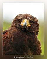 Woestijnbuizerd - Vogelfotografie - Dierfotografie - Door: Ellen Reus - Wolves fotografie