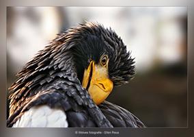 Stellers zeearend - Haliaeetus pelagicus - Vogelfotografie - Dierfotografie - Door: Ellen Reus - Wolves fotografie