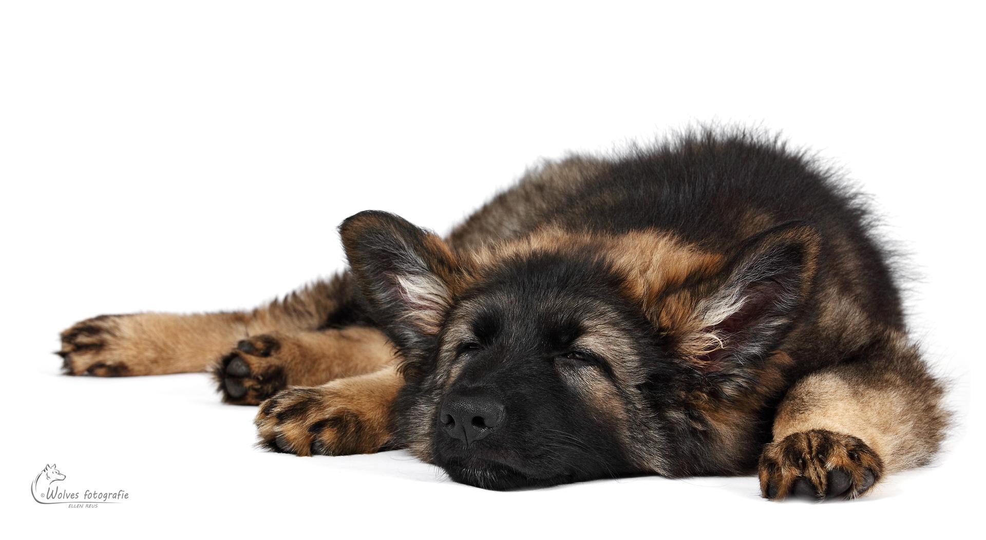 Zoë - Puppy - Oud Duitse Herdershond - 11 weken oud - hondenfotografie - dierenfotografie - Door: Ellen Reus - Wolves fotografie