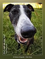 Zoë - Whippet - Fisheye foto - hondenfotografie - dierfotografie - Creatieve fotografie - Door: Ellen Reus - Wolves fotografie