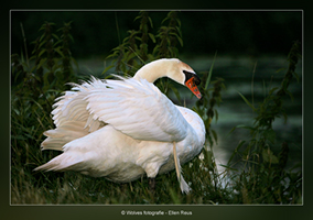 Zwaan - Vogelfotografie - Dierfotografie - Door: Ellen Reus - Wolves fotografie