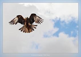 Zwarte Wouw klaar om zijn prooi te slaan - Vogelfotografie - Dierfotografie - Door: Ellen Reus - Wolves fotografie