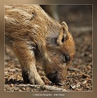 Jong zwijntje - Dierfotografie - Door: Ellen Reus - Wolves fotografie